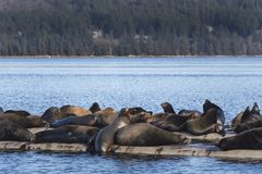 Kalifornische Seelöwen bei Fanny Bay, Ostvancouver island, Bri lizenzfreies stockbild