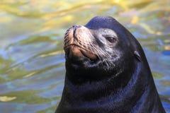 Kalifornischer Seelöwe lizenzfreies stockbild