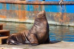 Kalifornischer Seelöwe, der auf einem Schwimmdock stillsteht Stockbilder