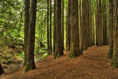 Kalifornisk redwoodträdskog Arkivbild