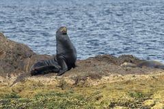 Kalifornisk sjölejonskyddsremsa som kopplar av på en vagga Royaltyfri Fotografi