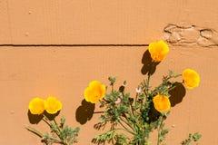 Kaliforniska vallmo mot en vägg Arkivfoton