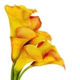 kalii leluj kolor żółty Obraz Royalty Free