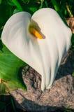 Kalii leluja w Pełnym kwiacie - vertical Zdjęcia Royalty Free