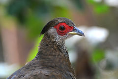 Kalij Pheasant Stock Photography