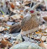 Kalij Pheasant. Portrait of female kalij pheasant at indian forest Stock Photography