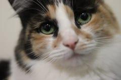 Kalikå Cat Close Up av framsidan royaltyfri foto