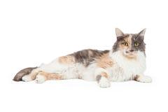 Kalikå Cat Laying And Looking Forward Arkivbild