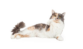 Kalikå Cat Lifting Arm Up Arkivbilder