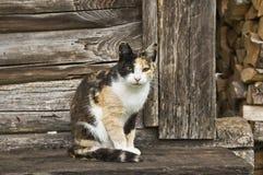 Kalikå Cat Sitting på träfarstubron Royaltyfri Foto