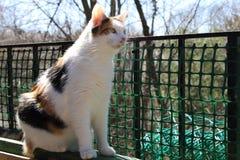 Kalikåkatt som sitter på balkongen och framåtriktat ser fotografering för bildbyråer