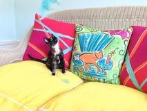 Kaliko-Kätzchen mit einer blauen Feder Lizenzfreies Stockfoto
