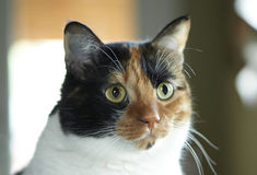 Kaliko-Katze Stockfotografie