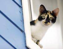 Kaliko-Katze, die aus Fenster heraus sich lehnt Stockfotos