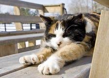 Kaliko-Katze, die im Sun sich entspannt Stockfoto