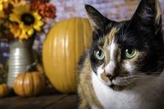 Kaliko-Katze und Autumn Pumpkins Stockfoto