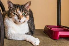 Kaliko-Katzen-und Lebensmittel-Teller Lizenzfreies Stockfoto