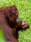 Kalimantan Orangutans. Are eating at Bandung Zoo stock photography