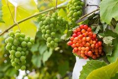 Kalina和葡萄在绿色叶子背景  图库摄影