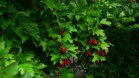 Kalina用红色莓果从雨是湿的 影视素材