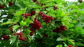 Kalina用红色莓果从雨是湿的 股票视频