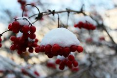 Kalina в снеге Стоковые Изображения RF