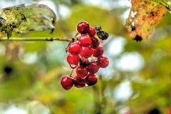 kalina Одичалая ягода Стоковое Изображение