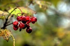 kalina Одичалая ягода Стоковые Изображения RF