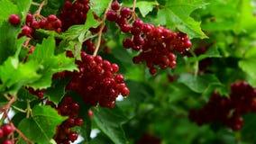 Kalina с красными ягодами влажно от дождя сток-видео