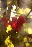 kalina 莓果 库存图片