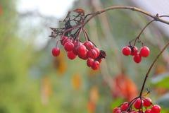 Kalina. Berries. Stock Image
