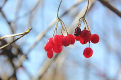 Kalina. Berries. Royalty Free Stock Photos
