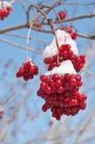Kalina berry Royalty Free Stock Photos