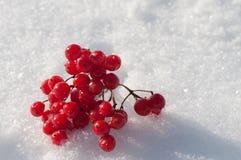 Kalina berry Royalty Free Stock Photo