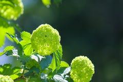 Kalina buldenezh. Flowering Bush in spring. Close up stock image