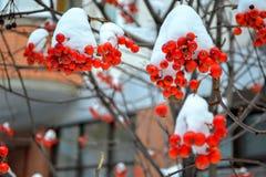 Kalina debajo de la nieve Invierno foto de archivo libre de regalías
