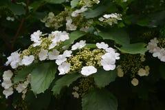 Kalina fleurit Image stock