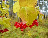 Kalina Krasnaya Foto de Stock