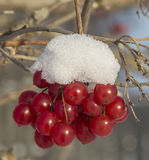 Kalina Krasnaya. Red berries on a tree branch in frosty winter day Royalty Free Stock Photo