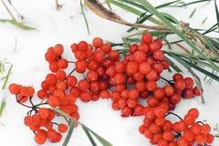 Kalina och snö viburnum arkivfoto