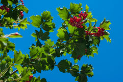 Kalina, viburnum berries a. Nd leaves with blue sky background Royalty Free Stock Photos