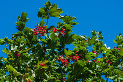 Kalina, viburnum berries a. Nd leaves with blue sky background Royalty Free Stock Photo