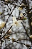 Spring, the first flowering trees. stock photography