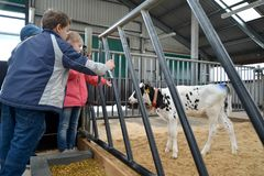 KALININGRAD REGION, RUSSIA. Children look at a calf. Children`s excursion to a dairy farm stock photos