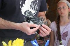 Kaliningrad, Russia - luglio 2012: Ornitologo che suona picchio lanuginoso immagini stock