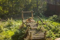 The tiger lies on a wooden flooring in the aviary in the zoo. KALININGRAD, RUSSIA - OCTOBER, 16, 2017:  The tiger Panthera tigris lies on a wooden flooring in Stock Photo