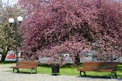 Kaliningrad Ryssland Apple-trädet för Nedzvetsky ` s blomstrar i stadsfyrkanten Arkivfoto