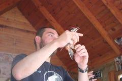 Kaliningrad Ryssland - Juli 2012: Ornitolog som ringer den duniga hackspetten fotografering för bildbyråer