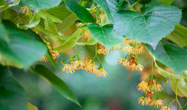 Kalk-Baum Blüten stockbild