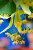 Kalk-Baum Blüten Stockfotos